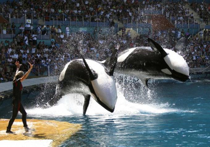 SeaWorld Announces End to Orca Breeding Program Exposed in ...