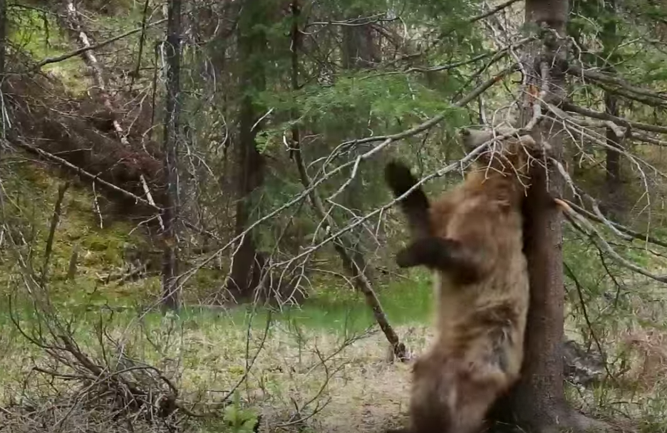 planet earth ii grizzly bears dancing to jungle boogie video indiewire. Black Bedroom Furniture Sets. Home Design Ideas