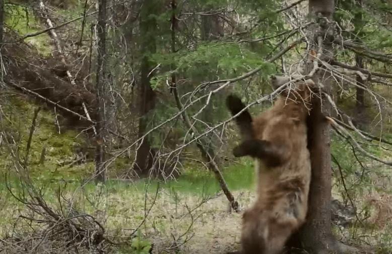 Planet Earth II Bears