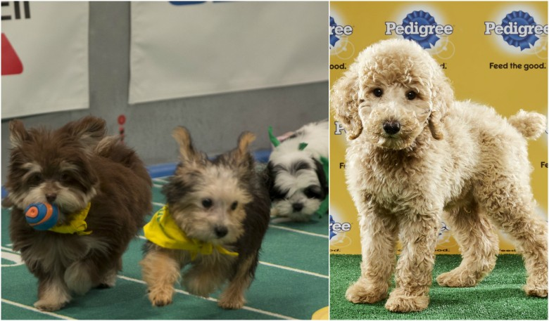"""Puppy Bowl XIII"" action (left); Oliver who still needs a home (right)"