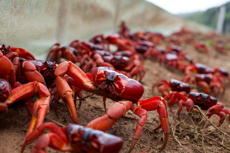 "Red crabs on Christmas Island, ""Planet Earth II"""