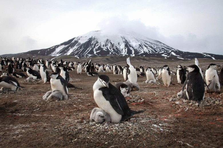 "Chinstrap penguins on ""Planet Earth II"""