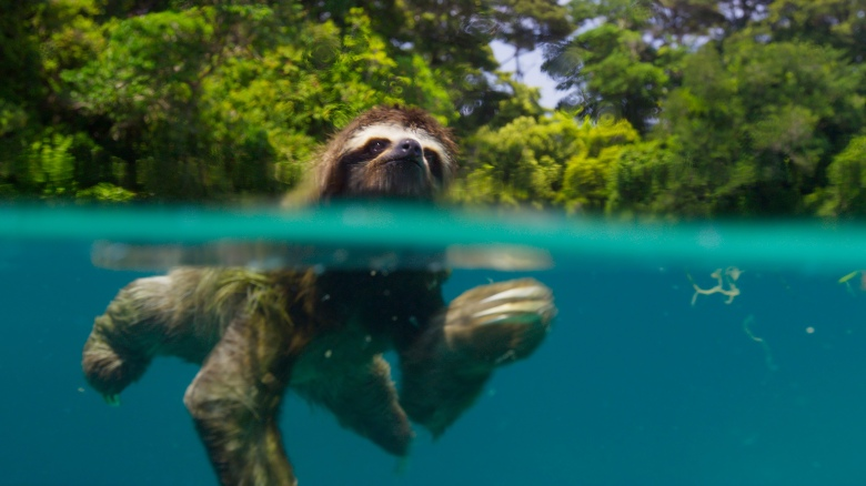 "A pygmy three-toed sloth on ""Planet Earth II"""