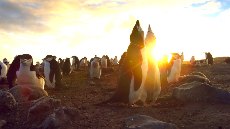 "Chinstrap penguins on Zavodovksi Island, ""Planet Earth II"""