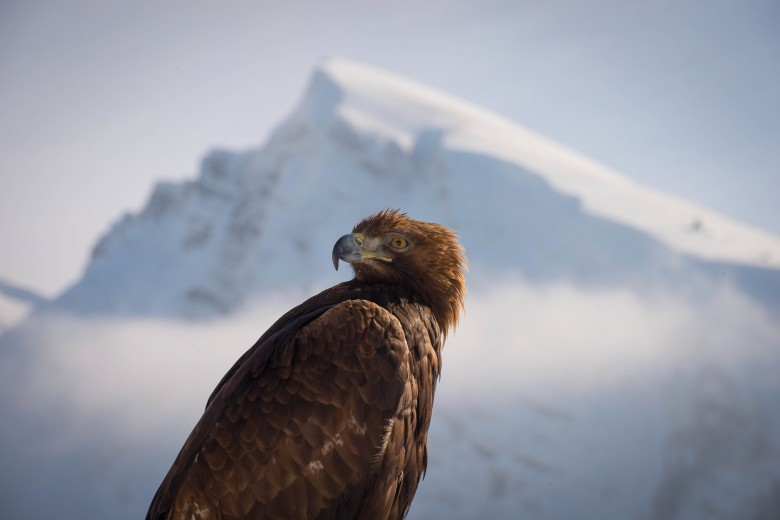 "Golden eagle on ""Planet Earth II"""