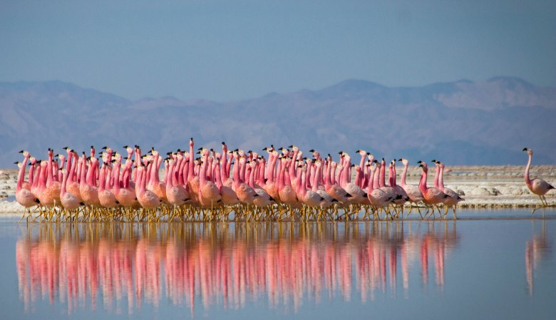"Flamingos doing a courtship dance, ""Planet Earth II"""