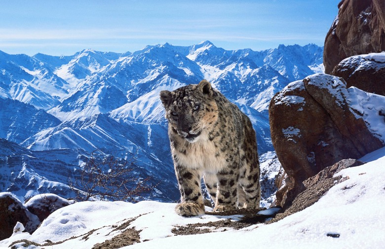 "A snow leopard, ""Planet Earth II"""