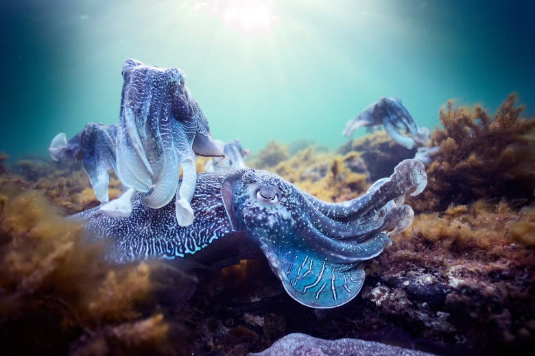 "Cuttlefish in ""Blue Planet II"""