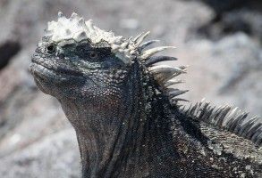 The Galapagos marine iguana is the only lizard to forage in the sea. Its ancestors were land iguanas, but with little vegetation on land, they adapted to life in the sea. Being cold-blooded, the iguanas must warm up in order to have enough energy to make a dive. Arriving back on land after feeding, they bask again in the sun, and excrete salt water from their nostrils by sneezing.