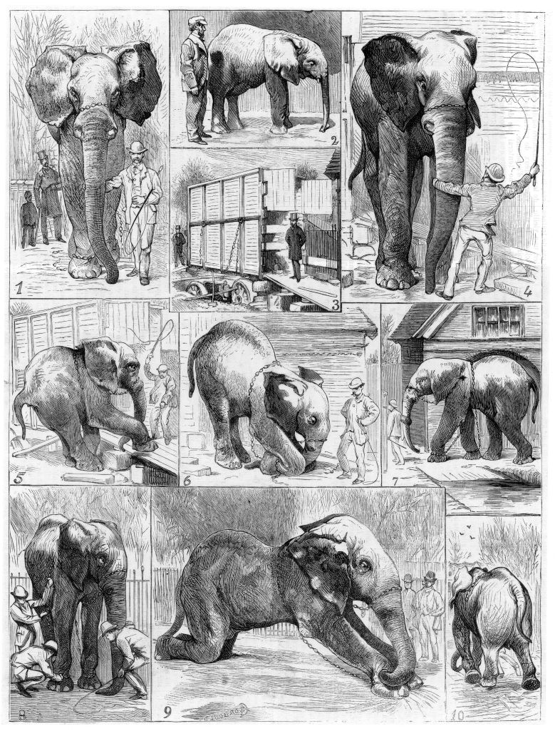 Jumbo the large African elephant sold by London Zoo in 1882 to the American showman Phineas Taylor Barnum (1810-1891) for his circus which became known as the 'Greatest Show on Earth'. Difficulties being experienced in getting Jumbo to leave his quarters. From Le Voleur (Paris, 1882). Wood engraving.History