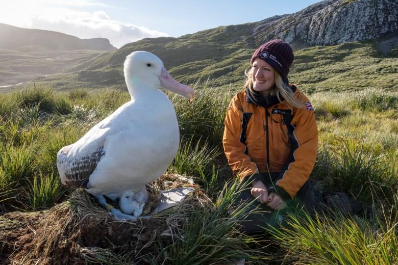 "Wandering albatross in South Georgia, ""Blue"