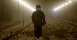 Rotten Netflix Chickens