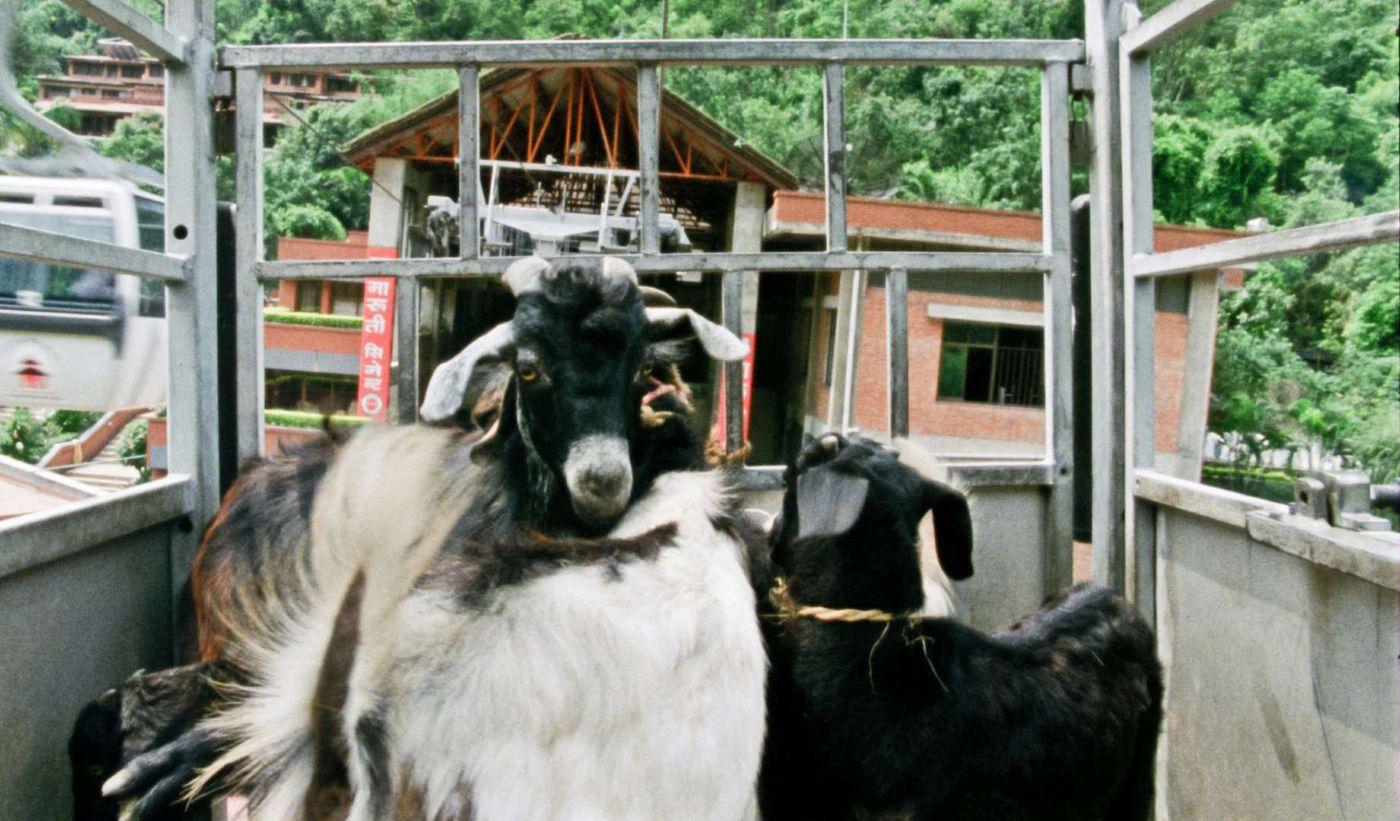 Manakamana goats