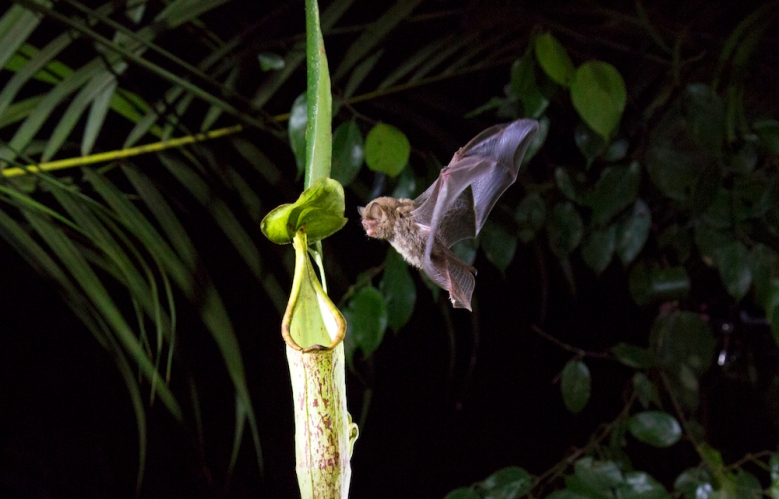 A Hardwicke's Woolly Bat flies into aNepenthespitcher plant in the pristine primary rainforest of Mulu National Park in Borneo. This bat has developed a unique symbiotic relationship with the plant. The plant provides a 'sleeping bag' for the bat, which the bat locates using its echo-location, based on the plant's provision of a unique 'sonar dish' that the bat alone can find. In return, the bat's droppings fertilise the plant. Such extremely complex relationships between plants and animals are unique to Borneo's rainforests, and take millions of years to develop. Many are now under threat.