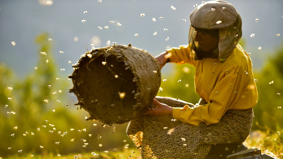 A female beekeeper releases bees from their nest in Macedonia.
