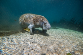 Manatee in the warm water of Florida springs