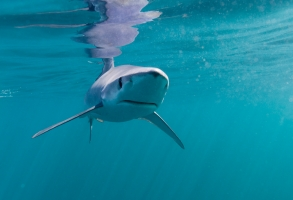 Blue sharks have an incredible sense of smell than enables them to sniff out food in the open ocean desert.  They roam great distances across the high seas searching for ephemeral sources of food.  Off Cornwall, SW England