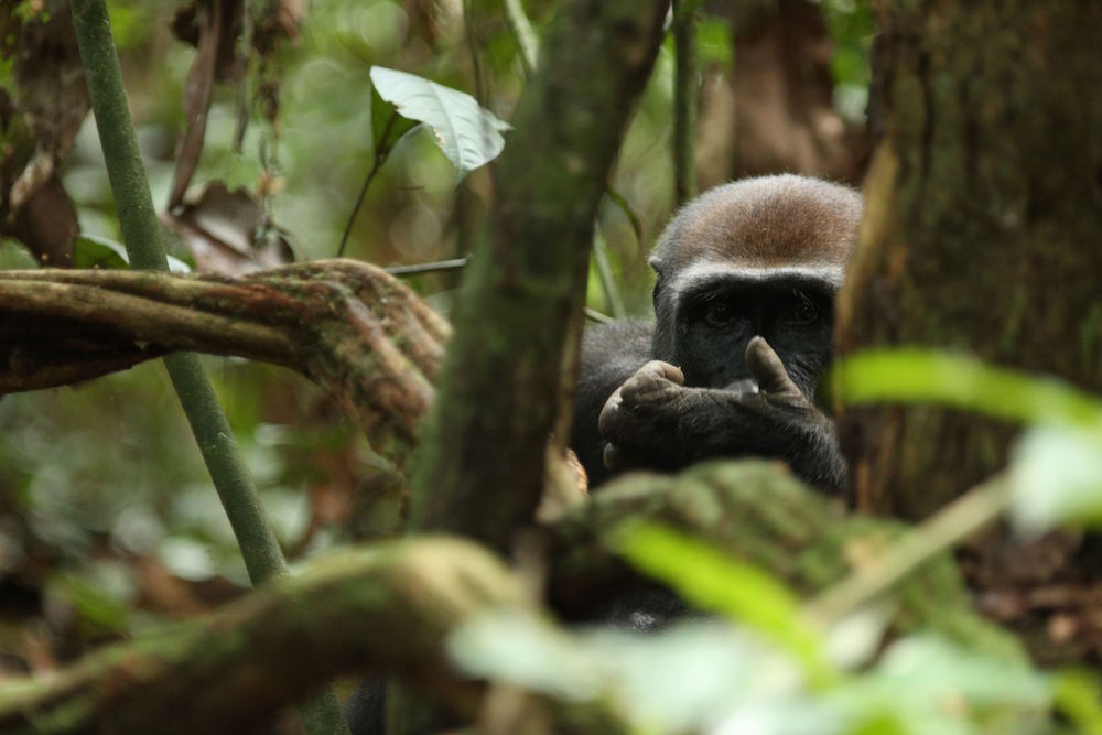 Female lowland gorilla in pristine jungle - eating termitesMondika, Republic of Congo