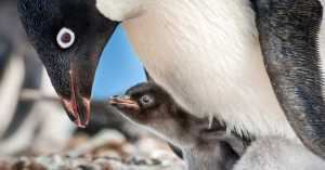 'Penguins'