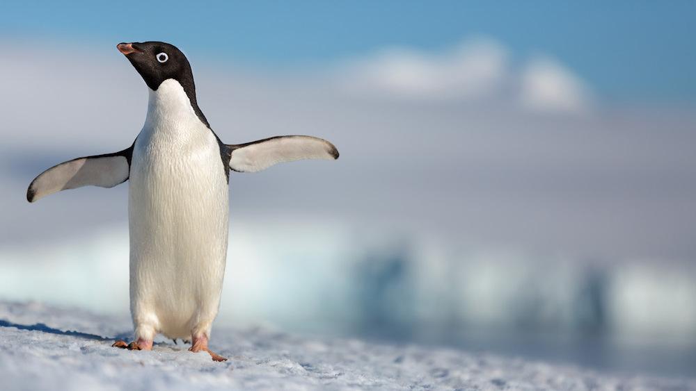 penguin - photo #36