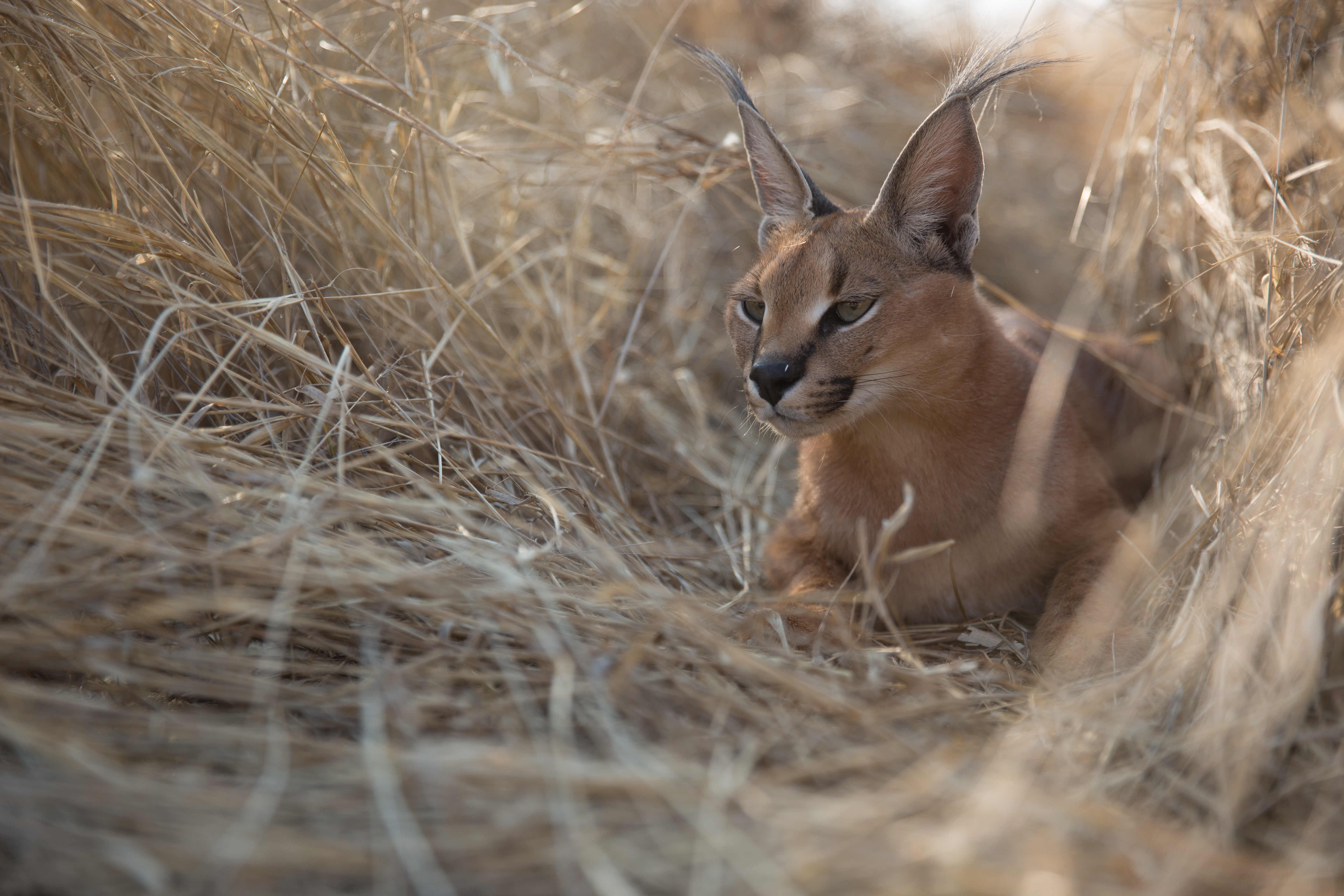 A caracal (Caracal caracal) in the Namib Desert, waiting for temperatures to drop so it can start hunting. The caracal is quick over short distances, propelled by its powerful hindquarters, which also give it remarkable powers - one was recorded leaping 11 feet vertically. They are known to jump into flocks of startled birds and grab them out the air - some are so fast they can catch two birds in a single leap. (National Geographic/Stephanie Thompson)
