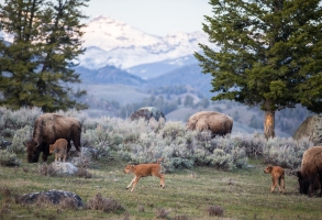 Bison herd with new calves in the Lamar Valley near Specimen Ridge. (MICHAEL NICHOLS/National Geographic Creative)
