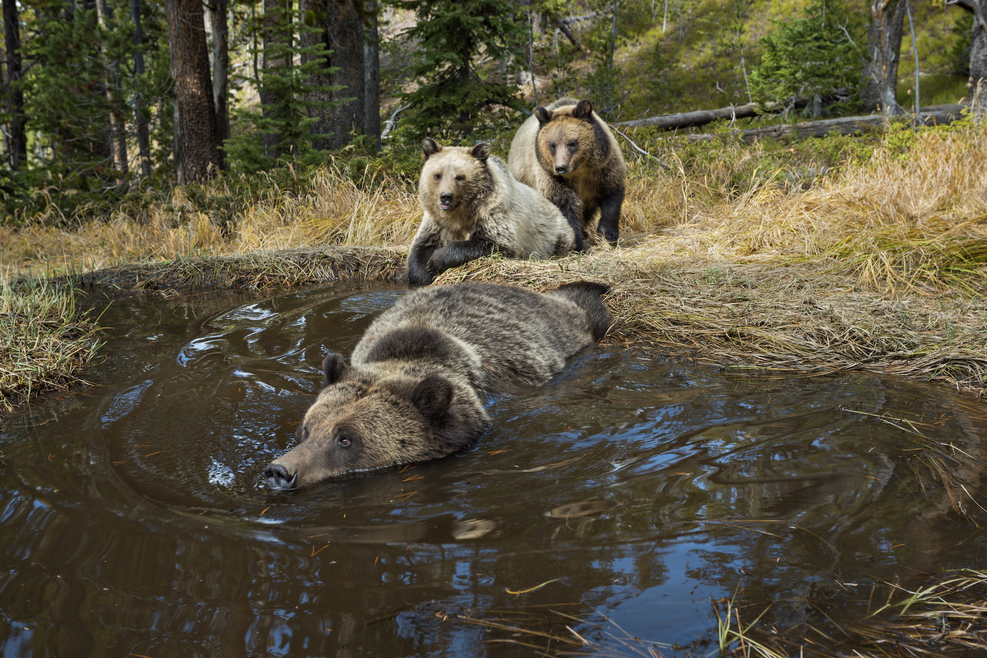 A camera trap captures grizzly bears bathing, splashing, and frolicking at a water hole.(MICHAEL NICHOLS/National Geographic Creative)