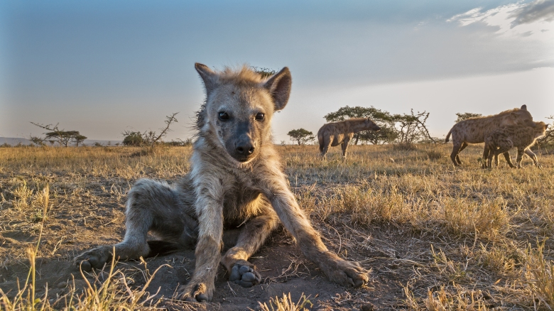 Picture Shows: Young hyena looking to camera