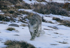 Snow leopard stalking Himalayan blue sheep. (National Geographic)