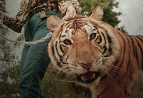 Tiger King Netflix Tiger Photo
