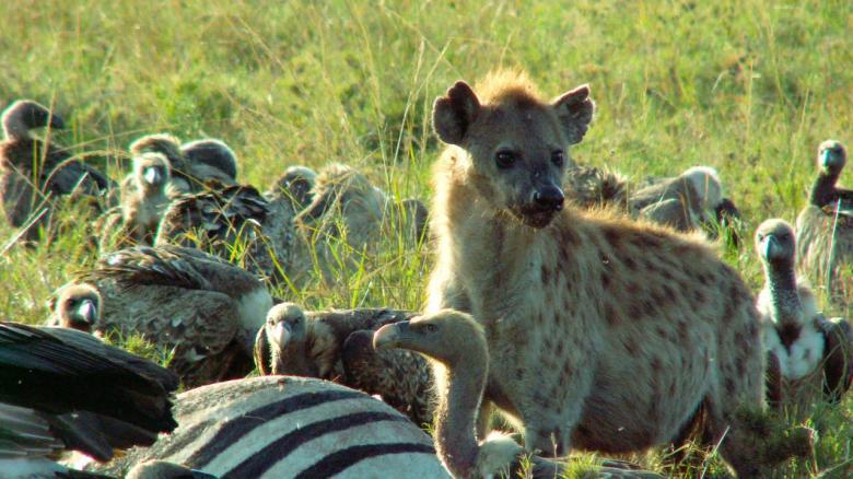 Serengeti Hyenas