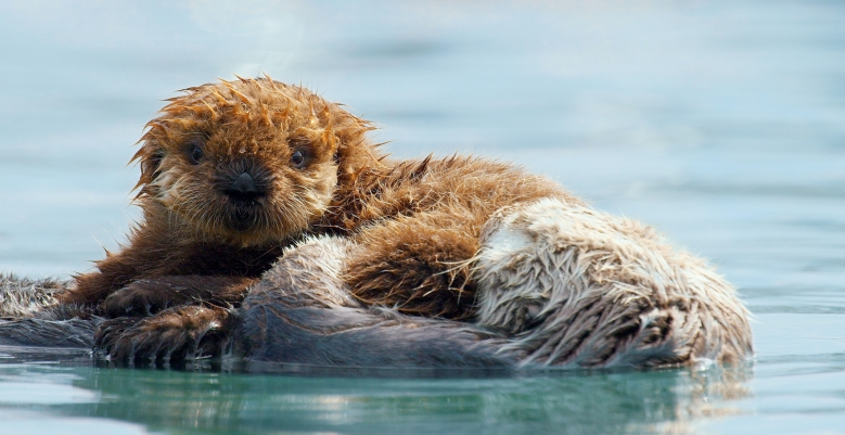 Sea Otter baby and mother, California coast - A Wild Year on Earth _ Season 1, Episode 1 - Photo Credit: