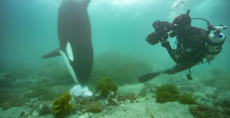 An orca poses with its quarry for National Geographic photographer Brian Skerry. The New Zealand population of whales are the only known members in the world to pursue stingrays on the seabed. (National Geographic/Kina Scollay)