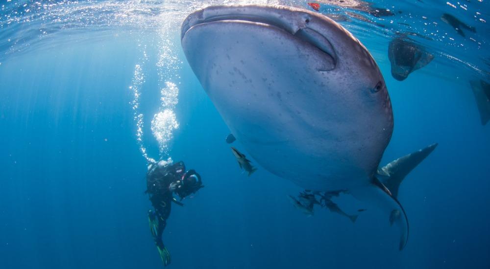 Doug Allan filming an Indonesian Whale Shark